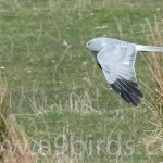 Hen Harrier adult male, Moray 28 Apr 2016 (Mike Crutch)