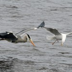 Heron and Herrging Gull Loch Spynie 4 May 2013 Gordon Biggs