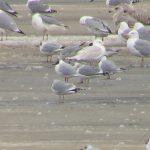 Herring Gull leucistic Balormie 4 Mar 2018 Bob Proctor