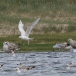 Herring Gull leucistic adult 20 Jun 2016 Tony Backx 1