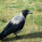 Hooded Crow Findhorn 18 Sep 2016 Allan Lawrence
