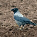 Hooded Crow Moyness 9 Apr 2017 Jack Harrison