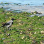 Hooded Crow Nairn 20 Sep 2016 Martin Cook P
