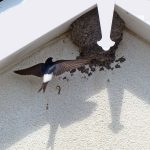 House Martin Burghead 25 Jul 2017 Jack Harrison
