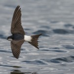 House Martin, Lossie estuary 1 Aug 2016 (David Main)