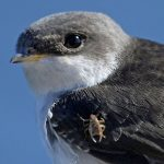 House Martin Lossiemouth 17 Aug 2017 Gordon Biggs PS