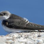 House Martin Lossiemouth 17 Aug 2017 Gordon Biggs PS2