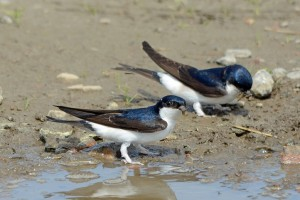 House Martins, Glenlivet 7 June 2014 (Gordon Biggs) 1