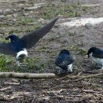 House Martins Golford 22 May 2017 Jack Harrison