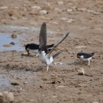 House Martins Kinloss 16 May 2014 Allan Lawrence 2