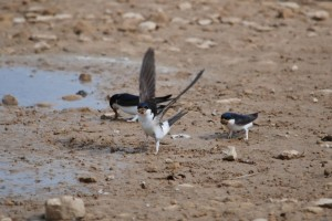 House Martins, Kinloss 16 May 2014 (Allan Lawrence) (2)