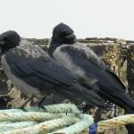 Hybrid Crow, Burghead 12 Sep 2015 (Bob Proctor)