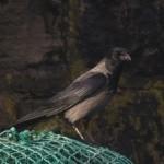 Hybrid Crow Burghead 7 Mar 2015 Bob Johnson