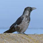 Hybrid Crow Nairn 29 Mar 2018 Jack Harrison