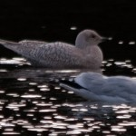 Iceland Gull (1st winter), Loch Oire 26 Feb 2014 (David Main)