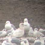 Iceland Gull Balormie 18 Feb 2018 Bob Proctor