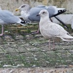 Iceland Gull Burghead 24 Nov 2014 Tony Backx 1