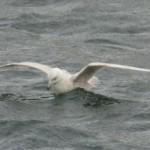 Iceland Gull Burghead 6 Mar 2015 Martin Cook P