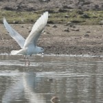 Iceland Gull Hopeman pig farm 2 Apr 2016 004 PS