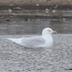 Iceland Gull Hopeman pig farm 21 Mar 2016 Graham Searle