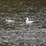 Iceland Gull Loch Oire 2 May 2015 David Shaw