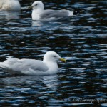 Iceland Gull Loch Oire 28 March 2013 David Devonport 2