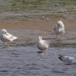 Iceland Gull, Lossie estuary 11 Jul 2015 (David Main)