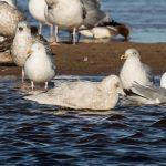Iceland Gull Lossie estuary 12 Feb 2018 David Main 2