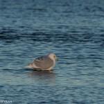 Iceland Gull Lossie estuary 14 Jan 2015 David Main 1
