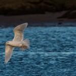 Iceland Gull Lossie estuary 14 Jan 2015 David Main 3