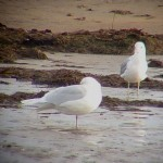 Iceland Gull Lossie estuary 15 Nov 2014 Bob Proctor