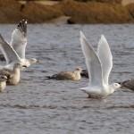 Iceland Gull Lossie estuary 18 Feb 2015 Richard Somers Cocks 1