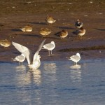Iceland Gull Lossie estuary 18 Nov 2014 Tony Backx