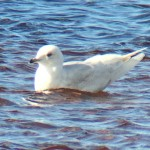 Iceland Gull Lossie estuary 2 May 2016 Bob Proctor