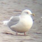 Iceland Gull Lossie estuary 20 Feb 2016 Bob Proctor