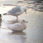 Iceland Gull Lossie estuary 21 Jan 2018 Bob Proctor 2