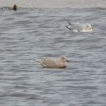 Iceland Gull Lossie estuary 22 Dec 2014 Duncan Gibson