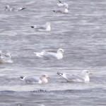 Iceland Gull Lossie estuary 22 Nov 2014 Richard Somers Cocks