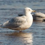 Iceland Gull Lossie estuary 23 Mar 2017 David Main 1P