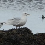 Iceland Gull Lossie estuary 3 May 2018 Allan Lawrence PS
