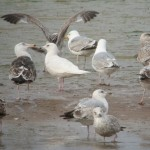 Iceland Gull Lossie estuary 4 June 2014 Duncan Gibson