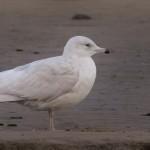 Iceland Gull Lossie estuary 7 Dec 2015 David Main 3