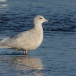 Iceland Gull Lossie estuary 8 Jan 2018 David Main