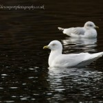 Iceland Gull adult Loch Oire 16 Feb 2013 David Devonport