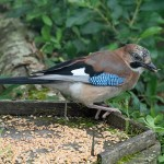 Jay, Loch Spynie 27 Jul 2016 (Gordon Biggs) 2 P