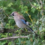 Jay, Loch Spynie 6 Aug 2015 (Gordon Biggs)