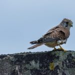 Kestrel, Lossie estuary 14 Oct 2016 (David Main)