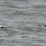 King Eider Burghead 15 No copy