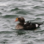 King Eider Burghead 31 Oct 2012 Tony Backx