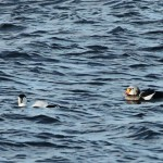 King Eider Burghead 8 Nov 2014 Martin Cook 1